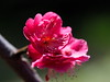 Photo:Japanese apricot (Prunus mume, 梅) blossoms By Greg Peterson in Japan