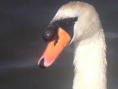 Me? A swan? Ahhh, go on