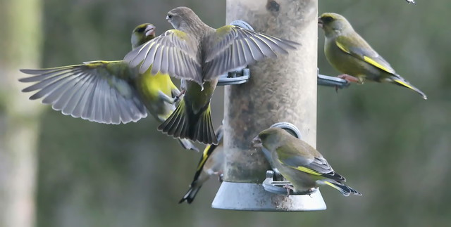 IMG_5093 Nice to see lots of Greenfinch at Tophill-Low Feeders Reception hide