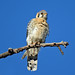 American Kestrel, My Yard