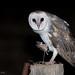 Eastern Barn Owl by chrissteeles