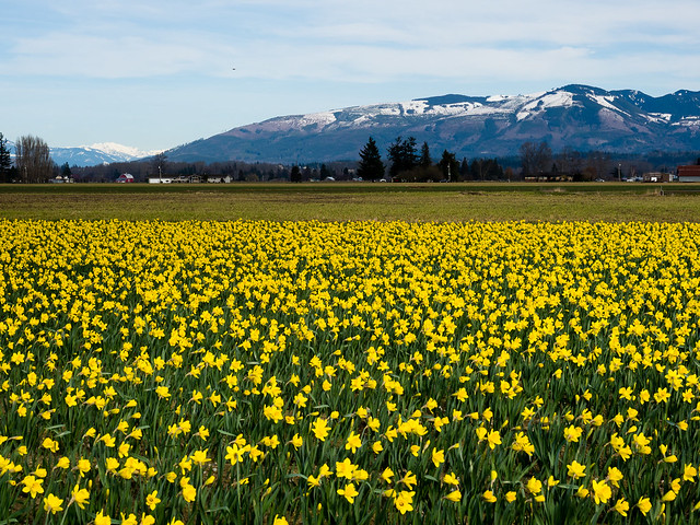 Daffodils in Skagit Valley