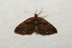 Anticlea vasiliata (Variable Carpet Moth) - Hodges # 7329 - WA USA