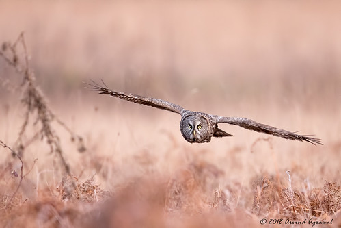 Great Gray Owl - IMG_0895