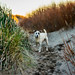Dog playing in dunes by Manuela Durson