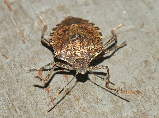 Brown Marmorated  Stink Bug DSCF5938