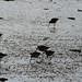 Godwits feeding in estuary mud