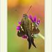 Cephise aelius - Long-tailed Scarlet-eye por J. Amorin