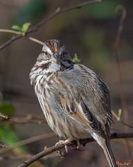Song Sparrow (Melospiza melodia) (DSB0282)