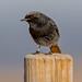 Black Redstart by hongleungPhotography