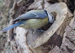 Mésange bleue - Cyanistes caeruleus - Eurasian Blue Tit : Michel NOËL © 2018-3264.jpg