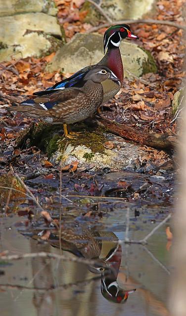 Wood-Ducks-17w