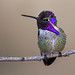 Costa's Hummingbird by Eric Gofreed