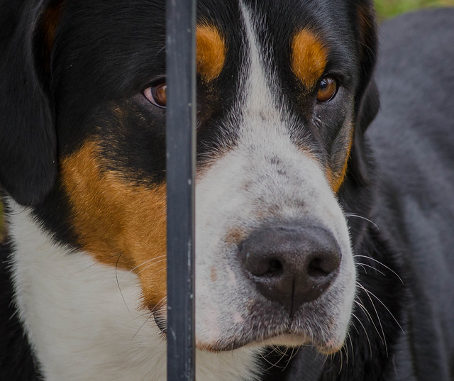 Greater Swiss Mountain Dog Pictures and Informations - Dog ...