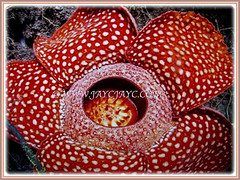 Rafflesia arnoldii (Corpse Lily, Corpse Flower, Bunga Bangkai in Indonesian Language) is a flowering plant noted for producing the largest individual flower on earth, March 14 2018
