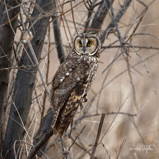 Long-eared Owl (Explored), Sony ILCE-7RM3, Canon EF 500mm f/4L IS II USM