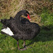 Black Swan, retreating from a bellicose cob Mute Swan
