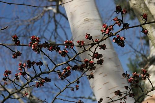 Parrotia persica blossoms