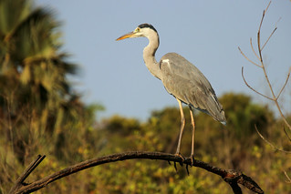 Grey heron, (Ardea cinerea), Kotu creek, The Gambia