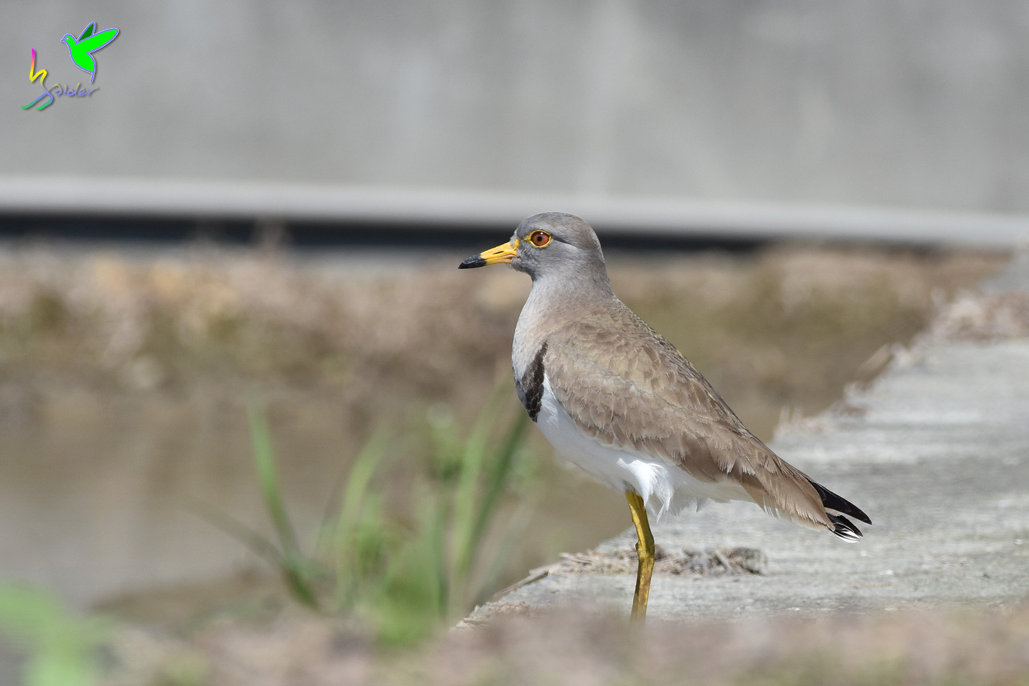 Grey-headed_Lapwing_1305