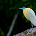 Capped Heron (Joao Quental)