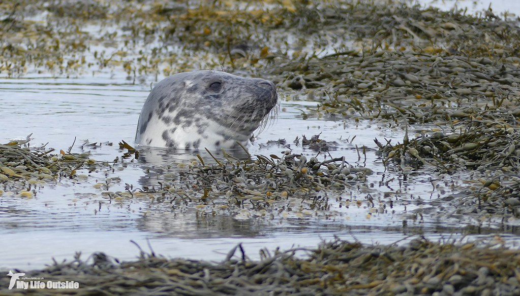 P1120850 - Common Seal, Isle of Mull