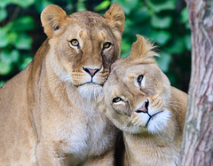 GaiaZOO leeuwinnen