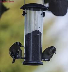 HolderGold Finches-1-3