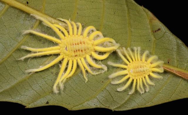 Female Iceryine Scale Insects (Icerya sp., Monophlebidae, Coccoidea)