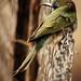 Bee-eater  وروار