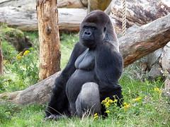 GaiaZOO gorilla
