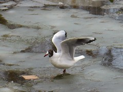 cirrocephalus (Grey-Headed Gull)