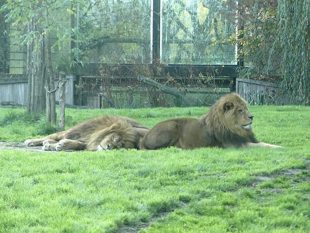 Löwe, Dierenrijk Mierlo