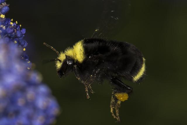 74/365  Bee on Ceanothus