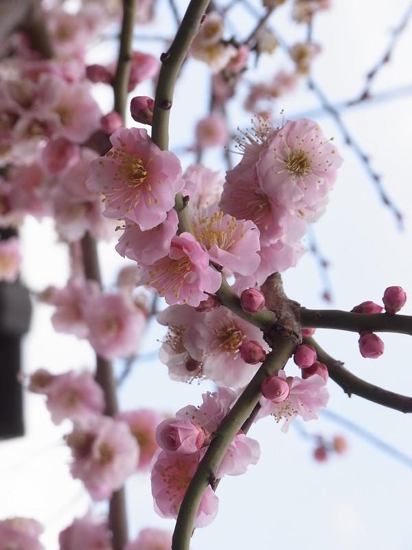 八重咲きの枝垂れ梅