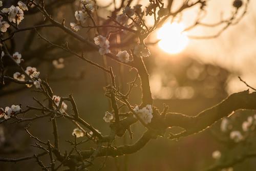 大阪市 大阪府 japan 大坂城 城 castle 梅 flower 夕景 sunset