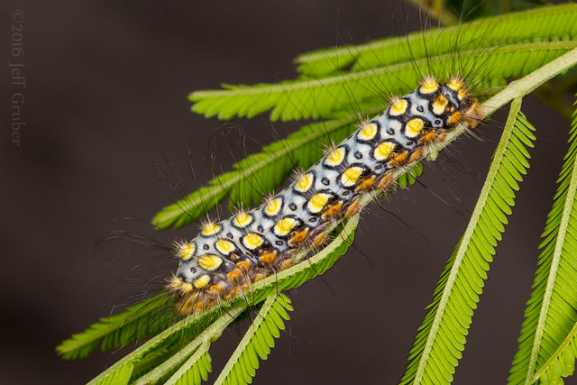 Flannel Moth caterpillar (Norape virgo)