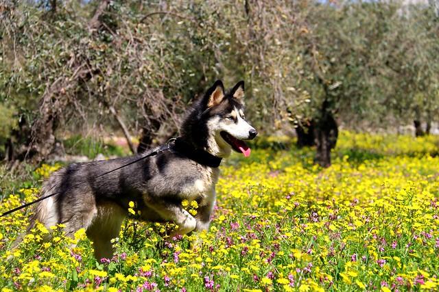 LIVNI #husky #spring #nature_photography #photography #capture #photooftheday #pic #photo #pets #photo_art #naturelovers #beauty #flickr