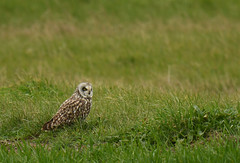 Hibou des marais - Short-Eared Owl (Asio flammeus)
