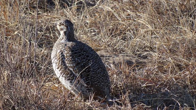 sharp-tailed grouse portrait
