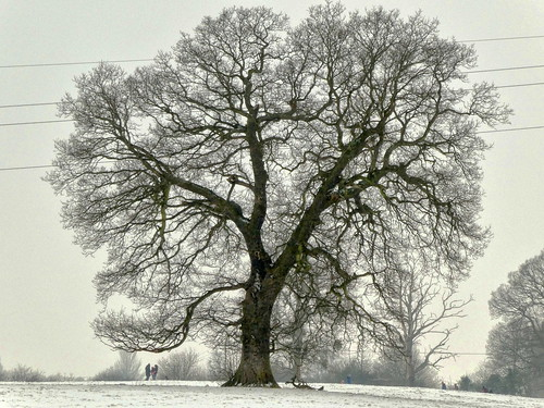 Worcestershire - Hallow - oak tree in the snow