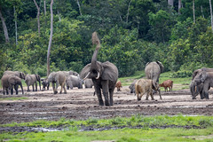 African forest elephants and lowland bongos Dzanga Sangha Special Reserve, CAR