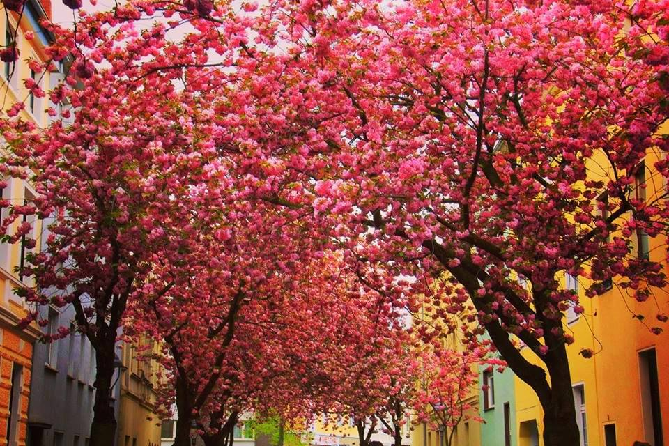 Heerstrasse is famous for the pink tunnel during Bonn cherry blossom festival