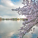 Cherry Blossoms and the Jefferson Memorial by Sky Noir