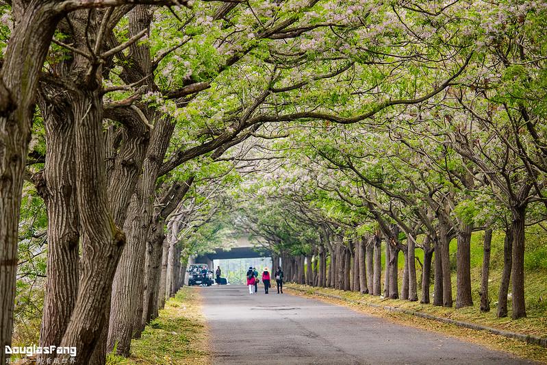 【遊記】嘉義六腳苦楝樹隧道 (15)
