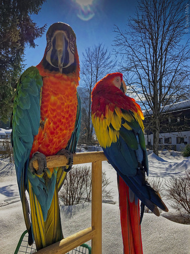 Macaws in the snow (My pets Lara and Lucy)