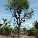 Tamarindus indica pollarded for forage