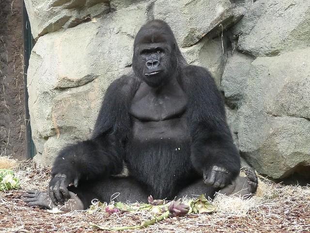 Gorilla Viatu, Zoo Frankfurt