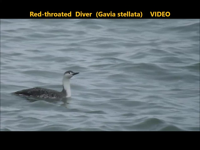 Red-throated Diver (Gavia stellata) . . VIDEO