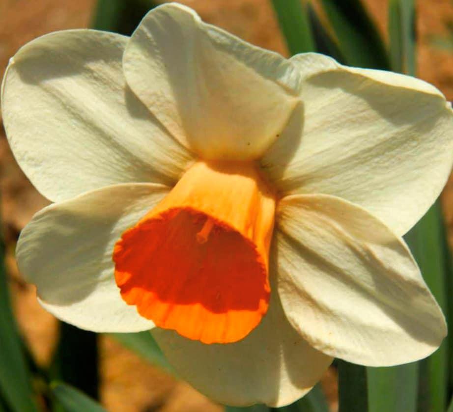 Narcissi is also grown in srinagar tulip garden